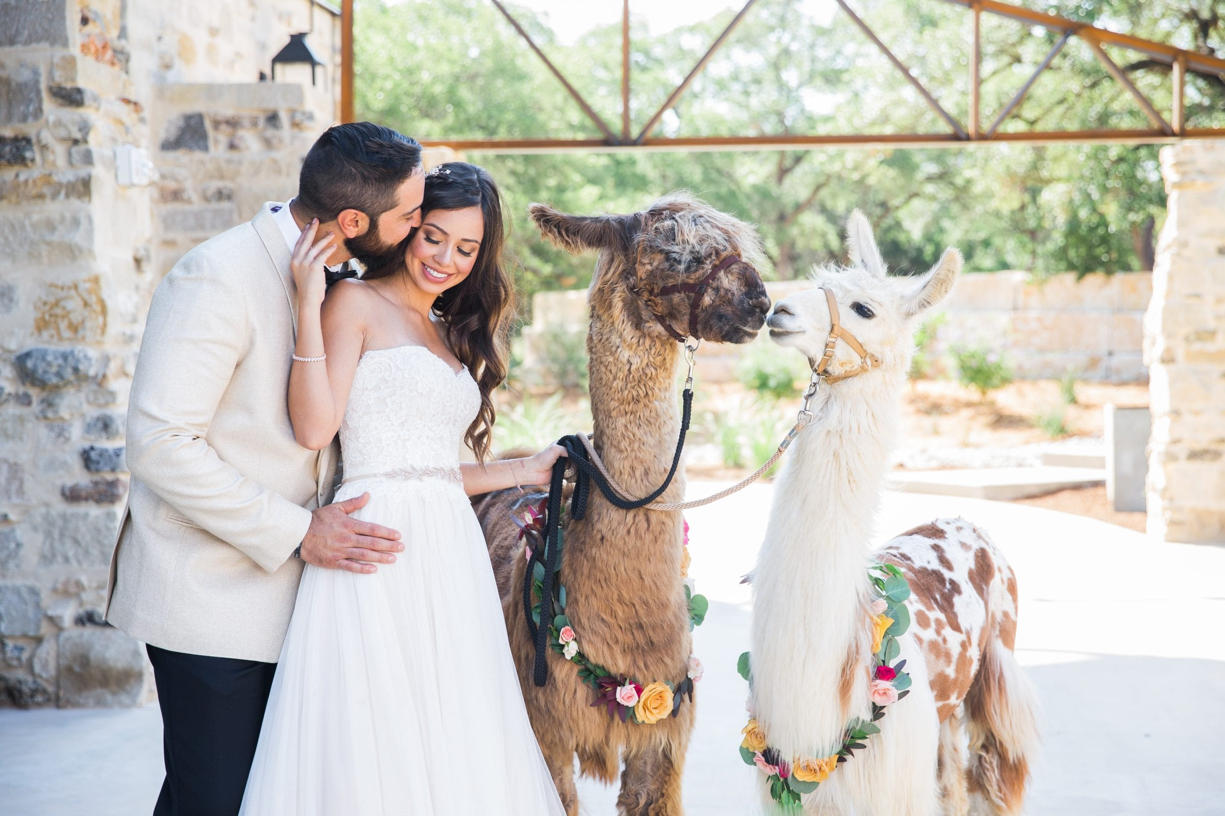 Llamas in love at park 31